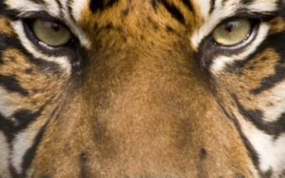 Welcome To The Year Of The Tiger: If You Want To Win, You Have To Live Dangerously